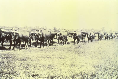 oxen teams for plowing the ditches